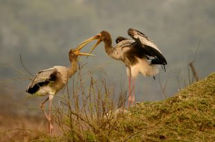 Painted Stork Juvenile