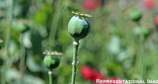 Poppy Capsules